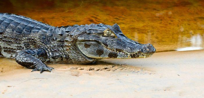 krokodil-alligator-zuby